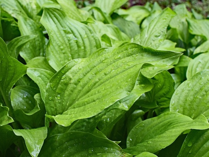 Plantain – A Native American Back Yard Herb