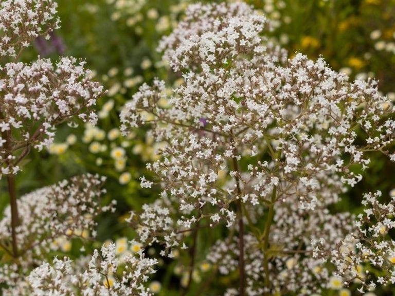 3x4 valerian flowers
